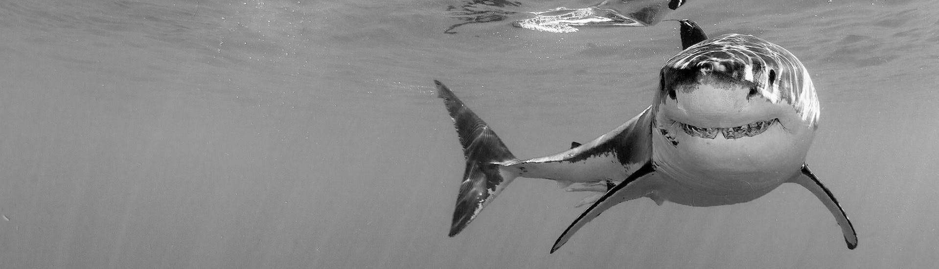 A great white shark is calmy swimming and smiling for the camera of Apex Shark Expeditions.