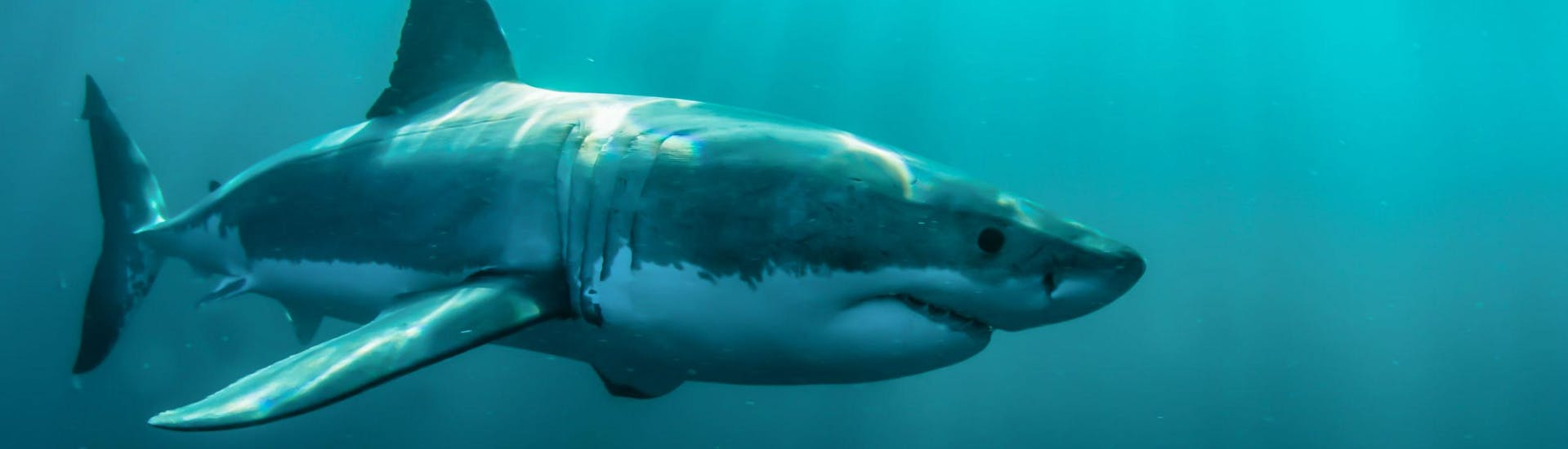 A great white shark is swimming through the sea, a common sight for visitors who go on a boat trip in Gansbaai.