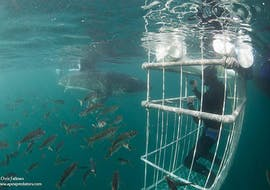 A close encounter with a shark while shark cage diving in Gansbaai with Apex Shark Expeditions. Picture courtesy of Chris Fallows/www.apexpredators.com.