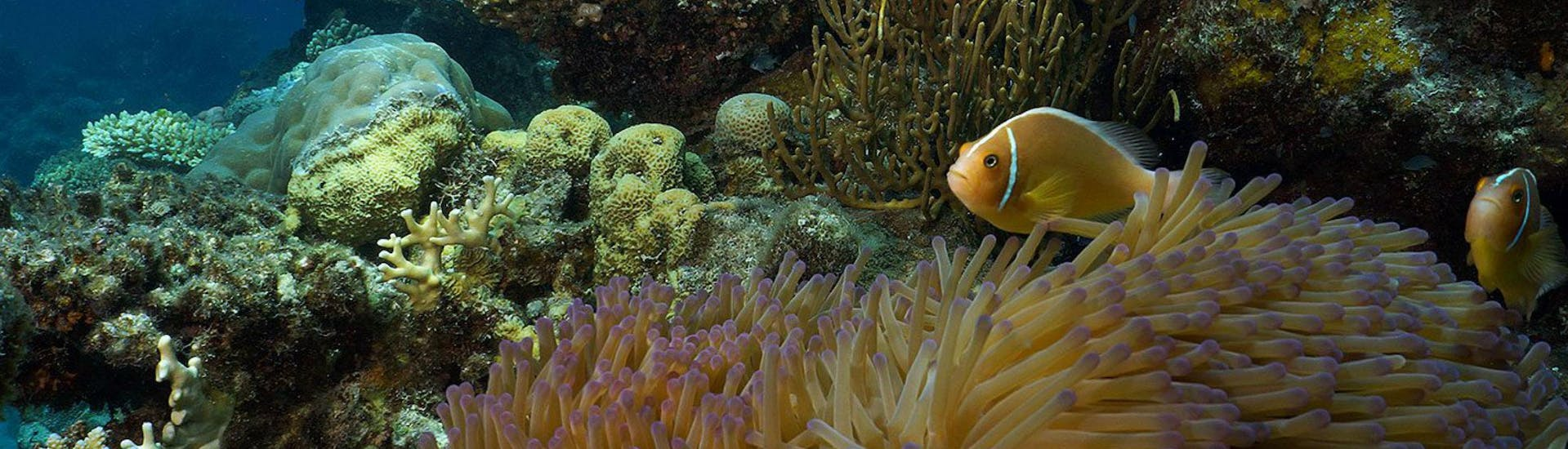 An image of colourful fish swimming around the coral reef that can be seen during the offer Certified Scuba Diving at the Great Barrier Reef with Ocean Freedom.