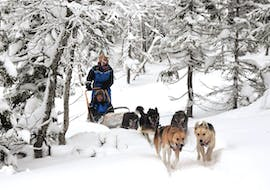 A team of Alaskan Huskies is excited to pull the sled through the snow during the Dog Sledding near Trondheim in Kopperå - Full Day Tour with Norway Husky Adventure.