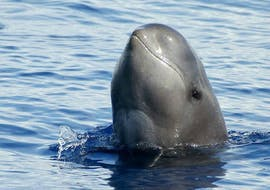 """Boat Tour from Ponta Delgada - """"Whale & Dolphin Watching"""""""