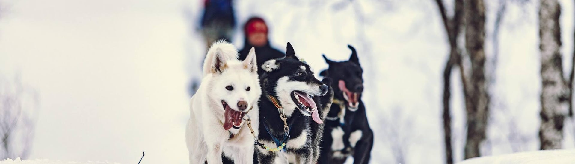 A group of huskies run contentedly through the snow-covered forest with lyngsfjord adventure near tromso