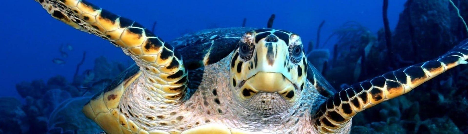 A turtle is pictured during Night Scuba Diving in Réserve Cousteau for Certified Divers with Les Heures Saines Guadeloupe.