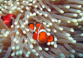An image of a clown fish peeping out throught the sea anemone, as seen while Scuba Diving at the Great Barrier Reef for Certified Divers with Ocean Free.