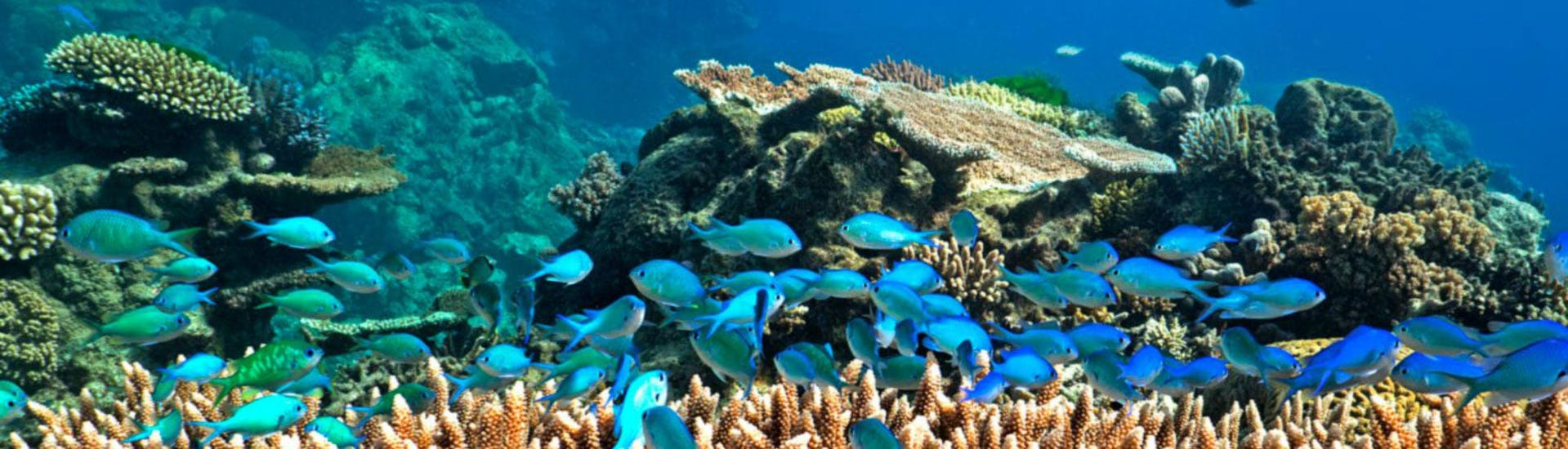 A shoal of blue fish is swimming around the coral reef, as can be seen while Scuba Diving at the Great Barrier Reef for Certified Divers with Ocean Free.