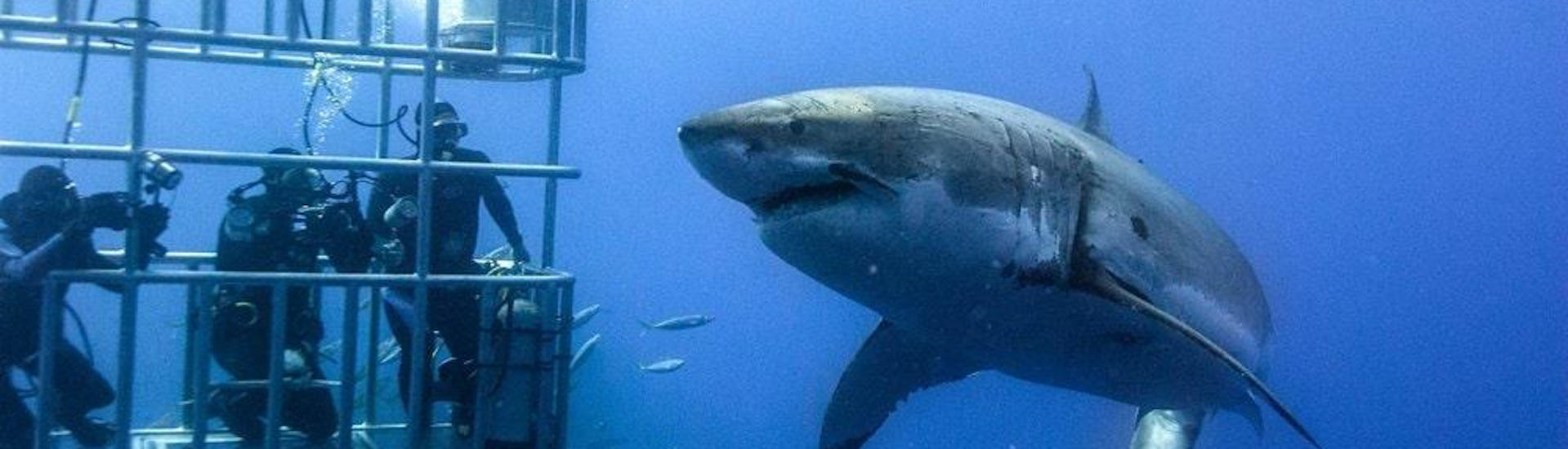 Shark Cage Diving from Cape Town