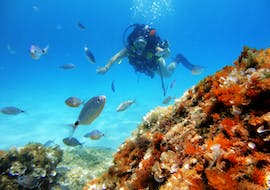 During the trial dive in Cala Delta Nature Reserve with Diving and Adventure Mallorca, a diver is exploring the colourful marine life of a cove.