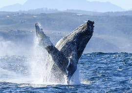 During the Whale Watching from Knysna organised by Ocean Odyssey Garden Route, tourists are admiring a jumping whale.
