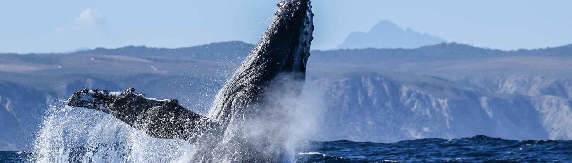 During the Whale Watching from Knysna organised by Ocean Odyssey Garden Route, tourists are watching the incredible acrobatics of a humpback whale.
